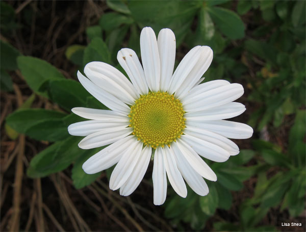 Shasta Daisy by Lisa Shea
