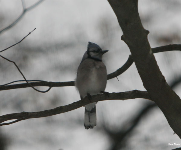 Impressionism Bluejay by Lisa Shea