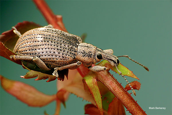 Weevil by Mark Berkerey