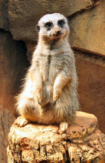 African Meerkat Postcards