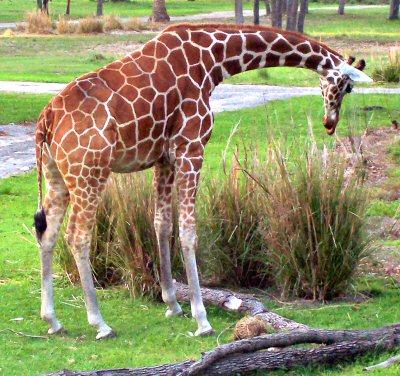 African Giraffe Postcards