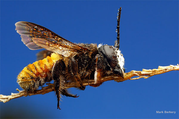 Orange Tail Leafcutter Bee by Mark Berkery