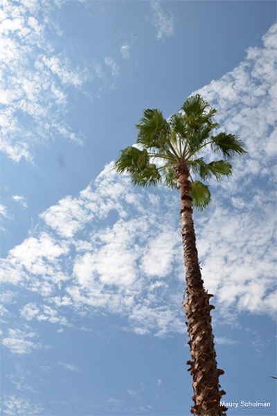 Skyward Palm by Maury Schulman