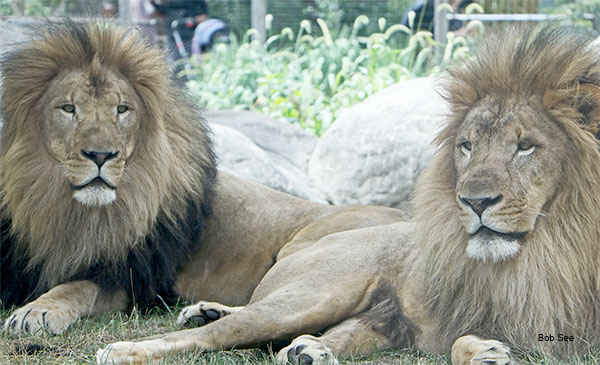 Lions by Bob See