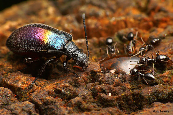 Room at the Table for a Rainbow Beetle by Mark Berkery