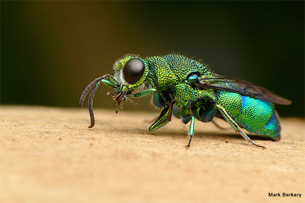 Emerald Cuckoo Wasp by Mark Berkery