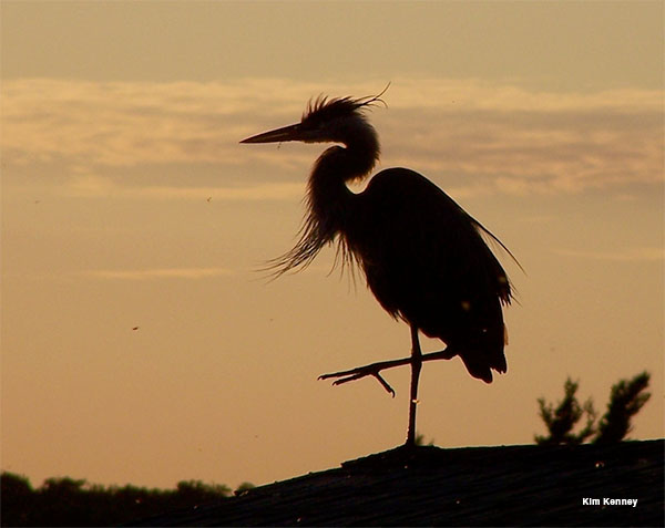 Blue Heron at Sunset by Kim Kenney
