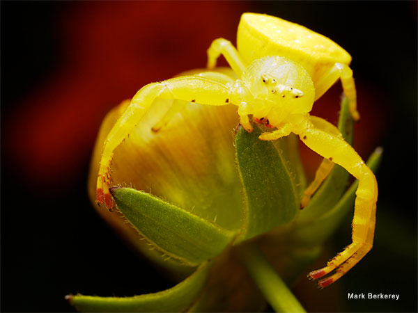 Crab Spider Patiently Waiting by Mark Berkerey