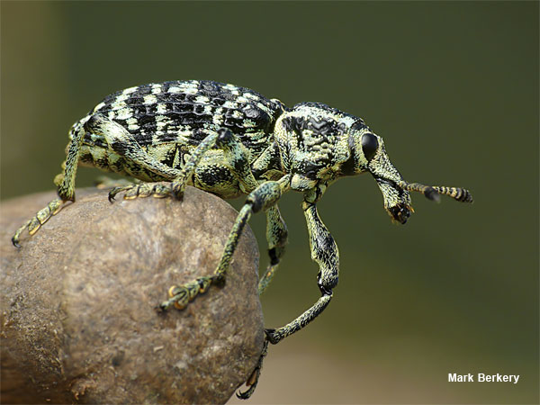 Botany Bay Weevil by Mark Berkery