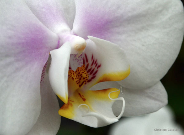 Orchid Entry by Christine Catalano