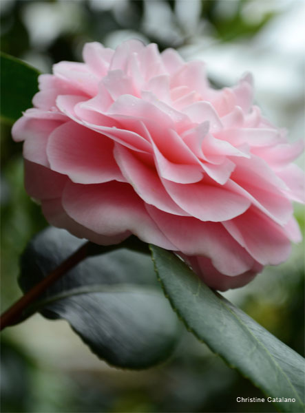 Camellia Solitaire by Christine Catalano