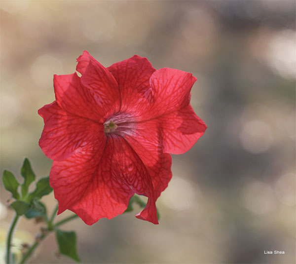 Crimson Petunia by Lisa Shea