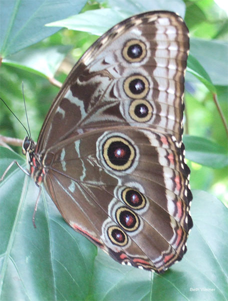 Brown Butterfly - But It Is So Much More! by Beth Weiner