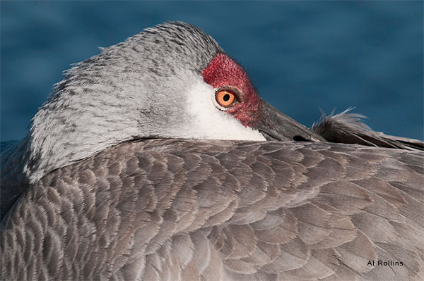 Resting Sand Hill Crane by Al Rollins