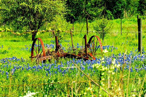 Rusted in Bluebonnets by Ashton