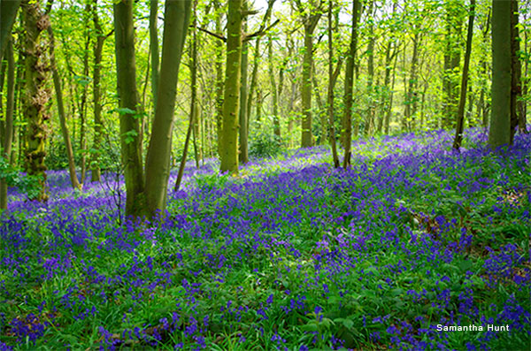 Bluebell Wood by Samantha Hunt