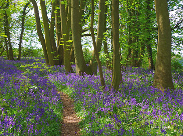 Bluebell Path by Samantha Hunt