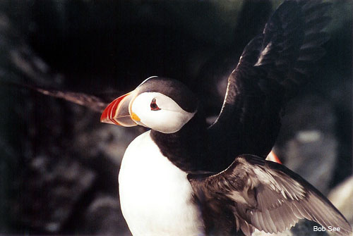 Atlantic Puffin by Bob See