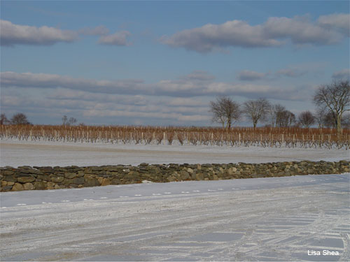 Rhode Island Vineyard