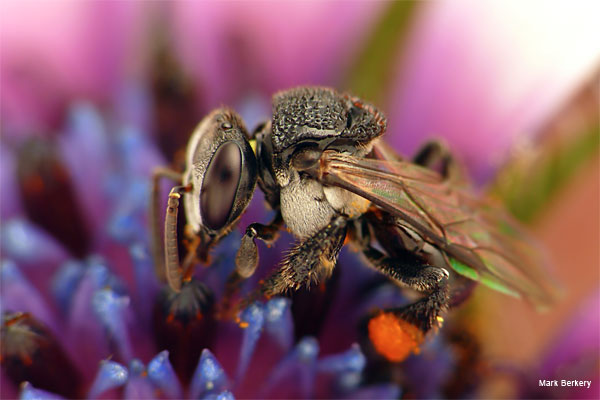 Stingless Bee 3 by Mark Berkery