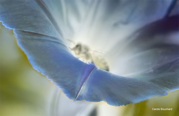 Ghost Bee in Morning Glory by Carole Bouchard