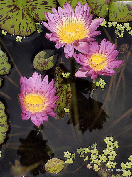 Three Lovely Lotus Blossoms by Ellen R. Erlanger