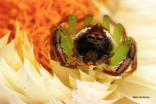 Jumping Spider by Mark Berkerey