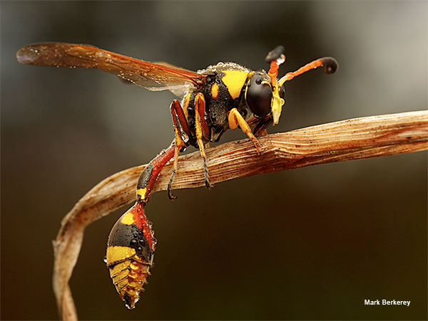 Potter Wasp by Mark Berkerey