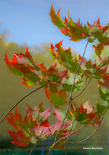 Leaves at Perrins Pond by Carole Bouchard